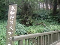 Uwano giant Japanese Judas tree